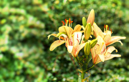 yellow lily in bloom with shallow focus photo