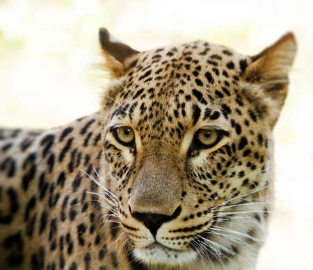 Closeup of Leopard looks forward with shallow focus
