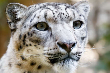 Close up Portrait of Snow Leopard Irbis  Panthera uncia  photo