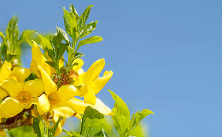 Blossoming forthysia in spring against blue sky and with space for text
