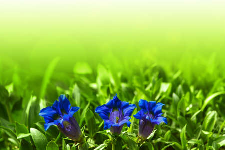 Trumpet gentiana blue spring flower in garden for background Stock Photo - 13623903