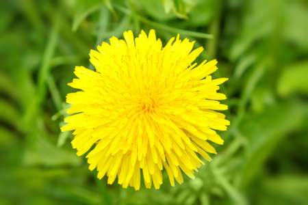 Yellow dandelion on a blurry green background photo
