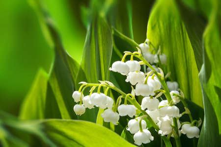 lirio blanco: Blooming Lirio de los valles en el jardín de primavera con foco superficial