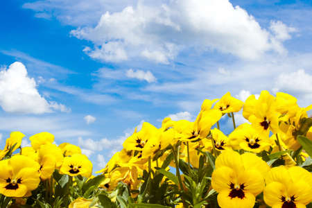 yellow pansy flowers against blue sky with clouds photo