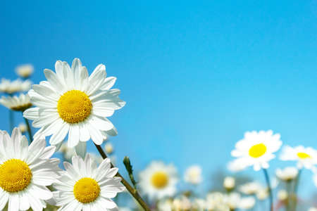 close up of white marguerite flowers against blue sky