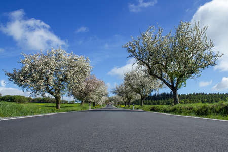 spring tide: spring road with alley of cherry trees in bloom