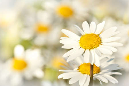 close up of white marguerite flowers with shallow focus Stock Photo - 14403646