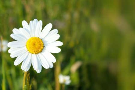 浅いフォーカスを持つ白いマーガレットの花のクローズ アップ