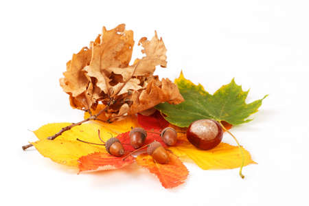 colorful autumn leaves chestnuts and acorn on white background photo
