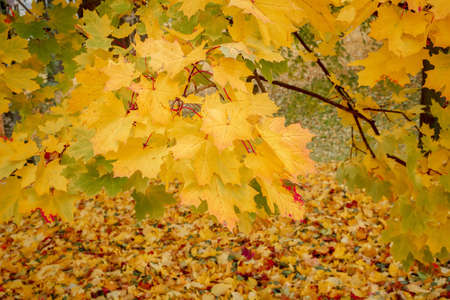 detail of maple tree in park in autumn with yellow and green leaves photo