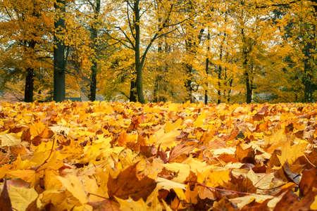 フォア グラウンドで秋静物の黄色のカエデの葉します。 写真素材