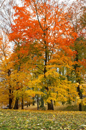 Maple tree in park in autumn with yellow and orange leaves photo