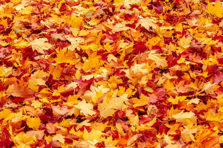 Fall orange and red autumn leaves on ground for background or backdrop Stock Photo