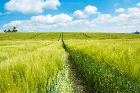 Organic Green champ de céréales de printemps avec des rails de tracteur