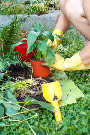 replanting: gardening with rubber yellow gloves, detail of  replanting green plants