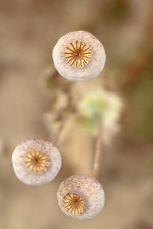 Detail of dry tree poppyheads on the field with shallow focus photo