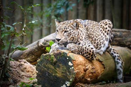 irbis: Snow Leopard Irbis (Panthera uncia) leopard looking ahead in zoo