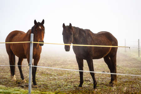 saddler: two brown horse in enclosure in early misty morning  Stock Photo