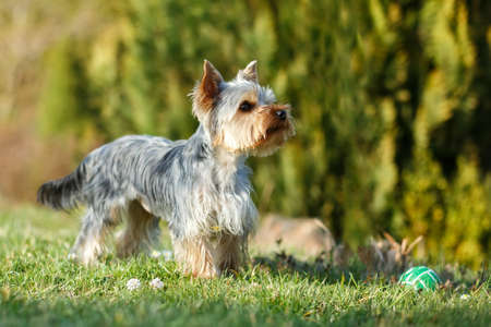 Cute small yorkshire terrier is running on a green lawn outdoor, no people, with small ball photo