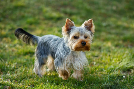 Cute small yorkshire terrier is running on a green lawn outdoor, no people photo