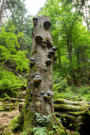 Polyporus squamosus mushrooms growing on a dead tree in the forest, Doubrava valley, Czech Republic Stock Photo - 27283642