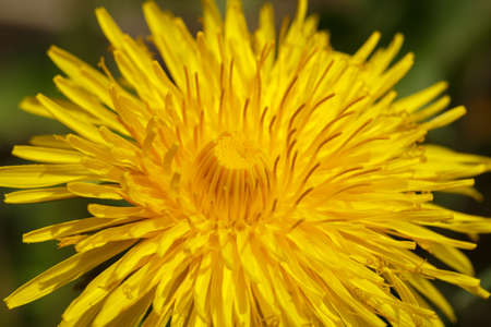 Yellow dandelion with shallow focus on a blurry green background photo