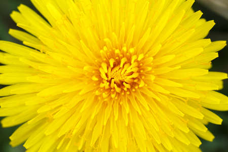Yellow dandelion with shallow focus on a blurry green photo