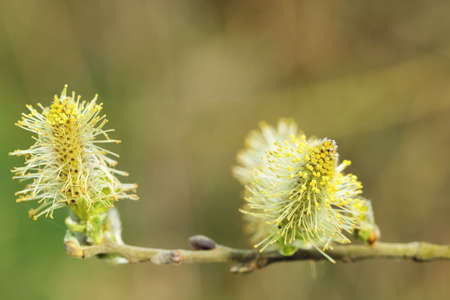 pussy willow (Salix caprea, male catkins) laden with pollen; close-up, symbol of easter Stock Photo - 27718108