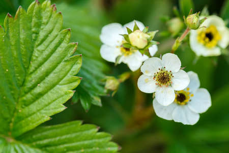 Woodland strawberry (Fragaria vesca) with shallow focus. Blooming plant. photo