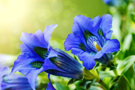 Trumpet gentiana blue spring flower in garden with sunlight in background Stock Photo