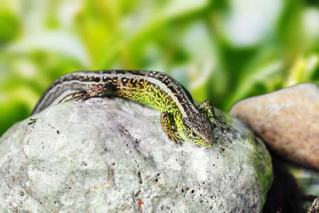lacertidae: macro of small garden lizard Lacerta agilis in nature