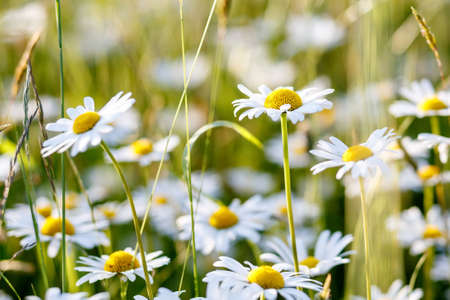 evening shoot of spring daisy flower field with shallow focus photo