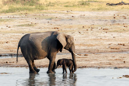 African elephants with baby elephant drinking at waterhole Hwange national park, Matabeleland, North Zimbabwe. True wildlife photography