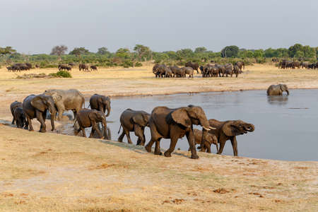 several heard of African elephants at waterhole Hwange national park, Matabeleland, North Zimbabwe. True wildlife photography