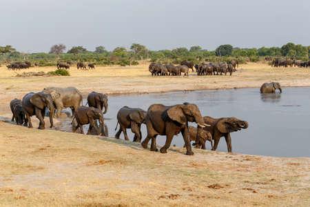 zimbabwe: varios o�do de elefantes africanos en el Parque Nacional de Hwange abrevadero, Matabeleland, Zimbabwe Norte. La verdadera vida al aire libre