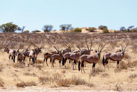 kgalagadi: Gemsbok, Oryx gazella on sand dune, Kgalagadi Transfrontier Park, Botswana, true wildlife