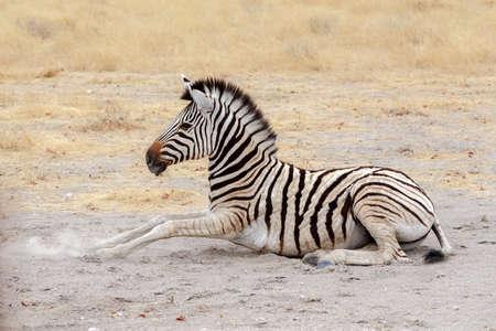 lying small Zebra in african bush. Etosha national Park, Ombika, Kunene, Namibia. True wildlife photography photo