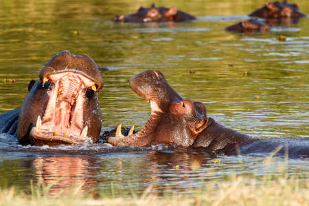 rehearse: Two young male hippopotamus Hippopotamus amphibius, rehearse fray and figting with open mouth and showing tusk. National Park Okawango, Botswana, wildlife photography