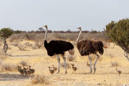 Family of Ostrich with chicken, Struthio camelus, in Etosha Park, Oshana Namibia, South Africa, true wildlife photography
