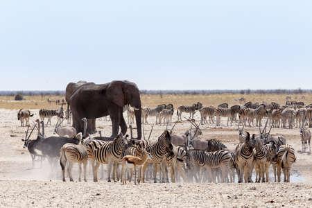 animal park: Crowded waterhole with Elephants, zebras, springbok and orix. Etosha national Park, Ombika, Kunene, Namibia. True wildlife photography Stock Photo