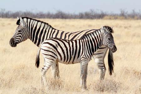Zebra foal with mother in african bush. Etosha national Park, Ombika, Kunene, Namibia. True wildlife photography photo