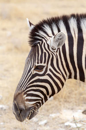 burchell: Zebra portrait. Burchells zebra, Equus quagga burchellii. Etosha national Park, Ombika, Kunene, Namibia. True wildlife photography Stock Photo