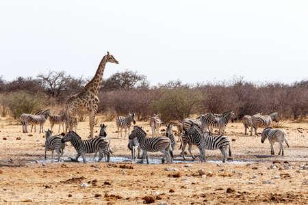 Giraffa camelopardalis and zebras drinking on waterhole in Etosha national Park, Ombika, Kunene, Namibia, true wildlife