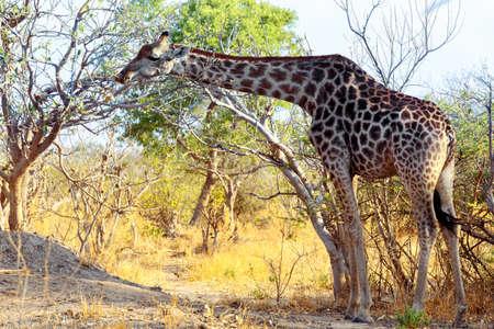 adult giraffe grazing on tree, Moremi Game reserve, Okawango Delta photo