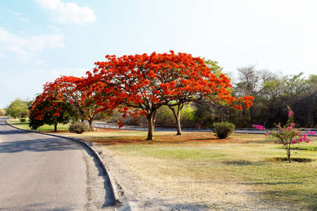 flamboyant: Delonix Regia (Flamboyant) tree with blue sky and road