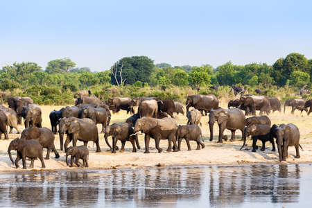A herd of African elephants drinking at a muddy waterhole, Hwange national Park, Zimbabwe. True wildlife photography