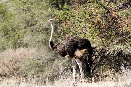 struthio camelus: Ostrich, Struthio camelus in Kalahari, South Africa, true wildlife photography