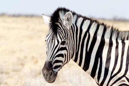 zebra face: Zebra portrait. Burchells zebra, Equus quagga burchellii. Etosha national Park, Ombika, Kunene, Namibia. True wildlife photography Stock Photo