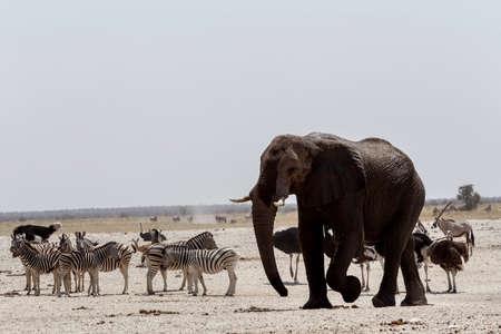waterhole: Elefantes africanos bebiendo en una charca fangosa con otros animales, Etosha National Park, Ombika, Kunene, Namibia. La verdadera vida al aire libre