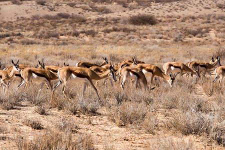 springbok: herd of springbok, Kgalagadi Transfontier park, South Africa Stock Photo